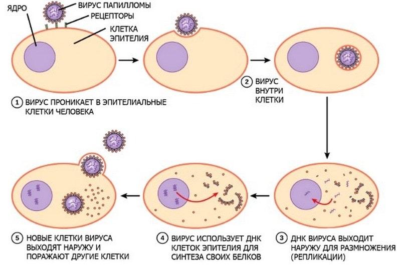 Процесс размножения вирусов