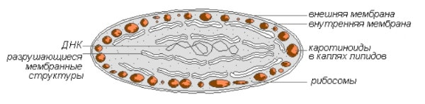 Строение хромопласта