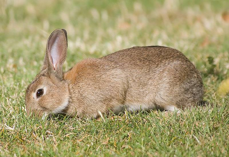 Дикий европейский кролик