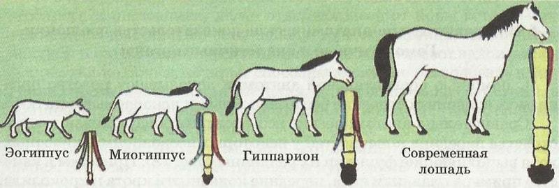 Доказательство эволюции на примере лошади