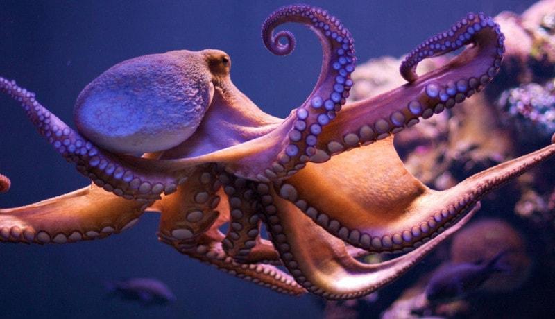 Осьминог - представитель морских беспозвоночных, не приспособившихся к перепадам температур