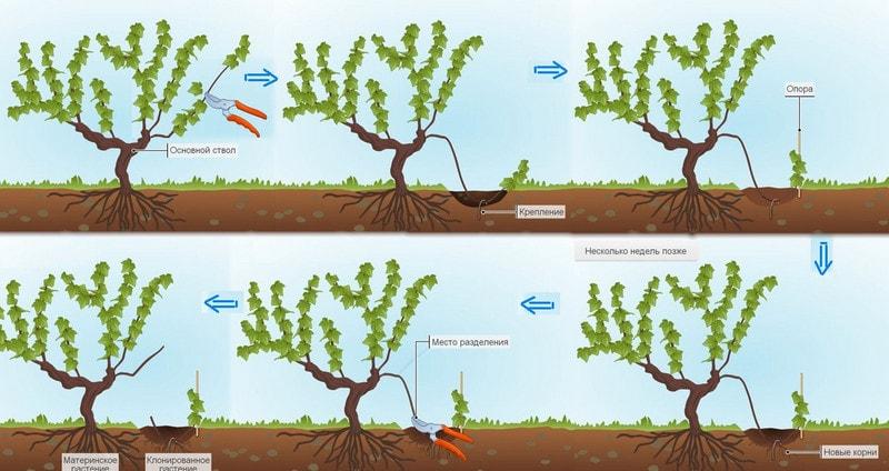 Вегетативное размножение черенками