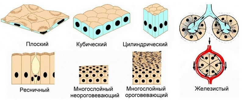 классификация по форме и функциям клеток