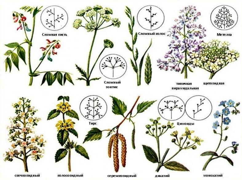 сложные соцветия