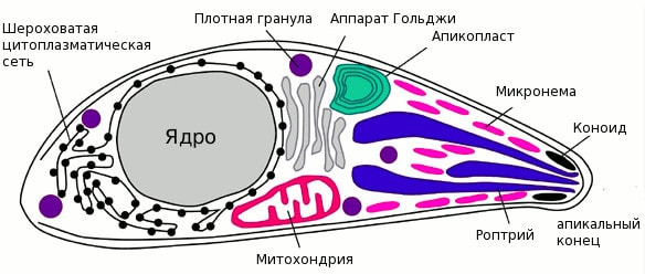 Строение апикомплекса
