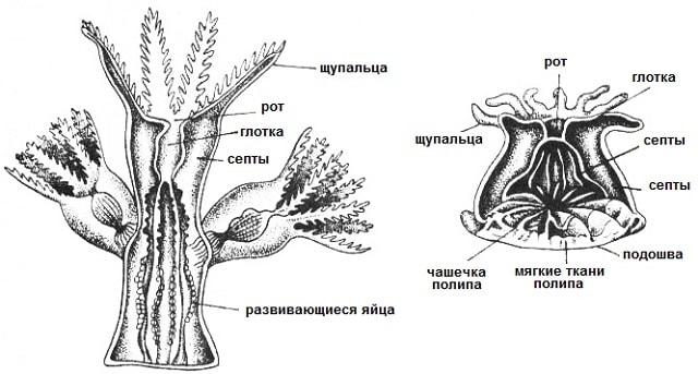 Строение кораллового полипа