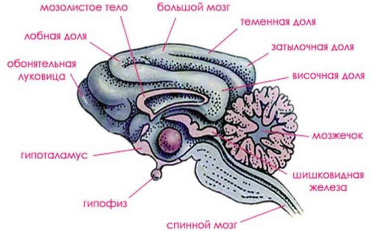 Головной мозг млекопитающих