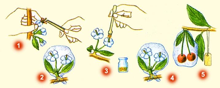 Схема искусственного опыления