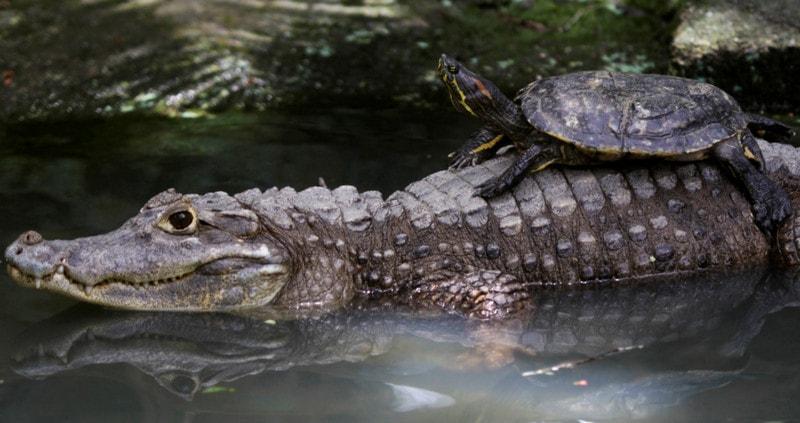 Крокодилы и черепахи