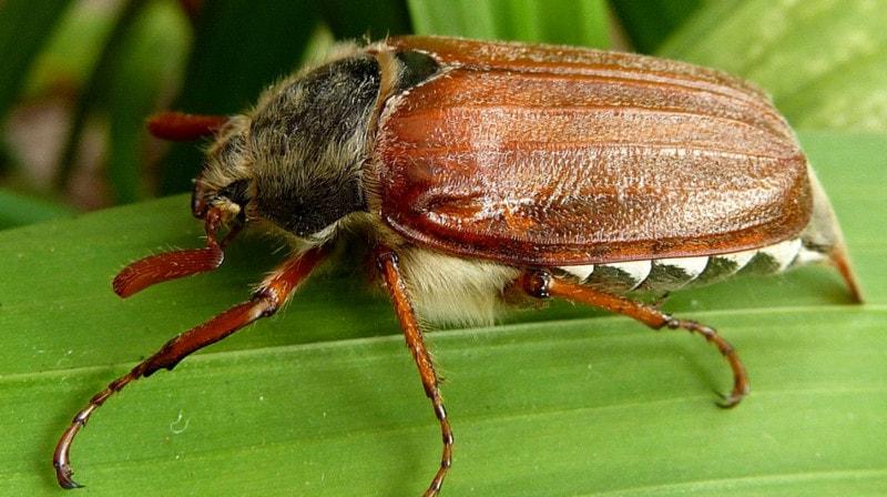 Майский жук - типичный представитель насекомых