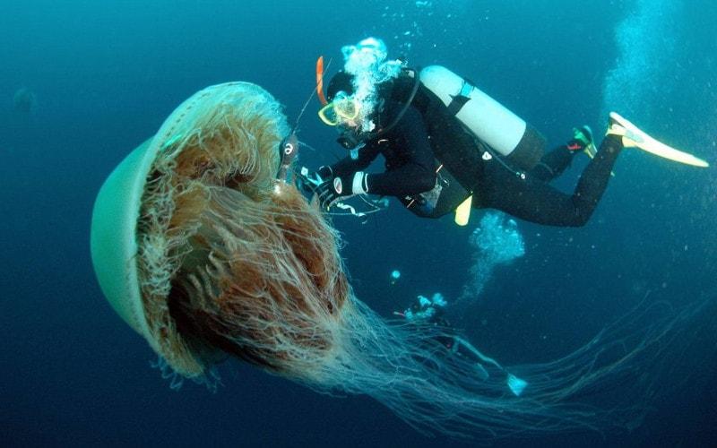 Медуза цианея / арктическая цианея / волосистая цианея