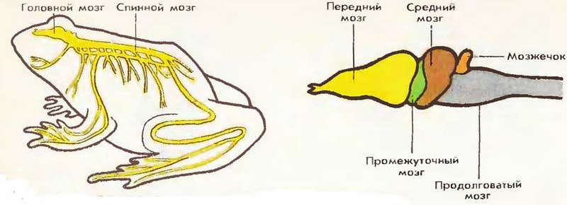 Нервная система амфибий