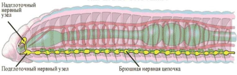 Нервная система круглых червей