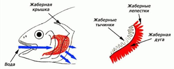 Органы дыхания у рыб