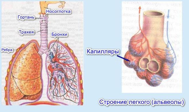 Органы дыхания млекопитающих
