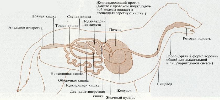 Органы пищеварения млекопитающих на примере собаки