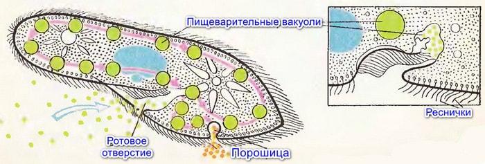Органы питания инфузории-туфельки