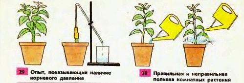 Поглощение воды корнем растения