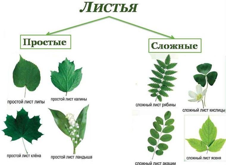Примеры простого и сложного типа листьев