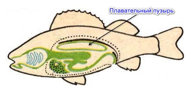 Плавательный пузырь у рыб
