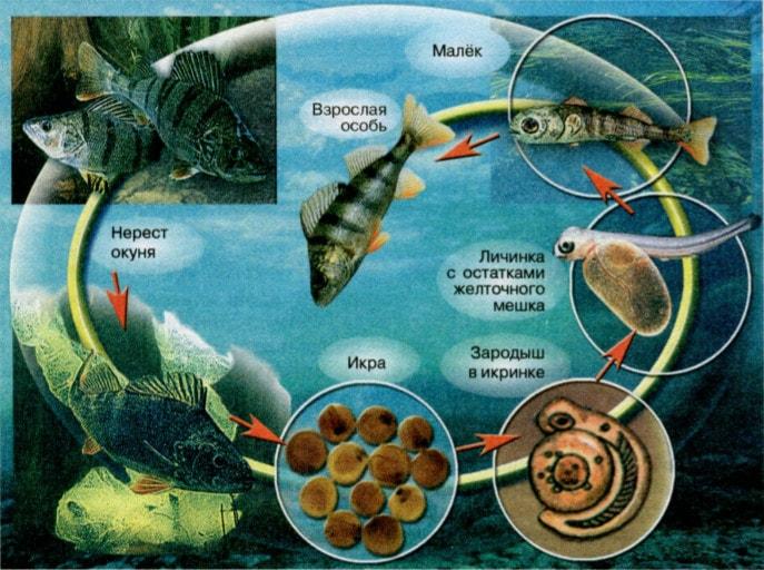 Процесс развития взрослой особи рыбы из икринки