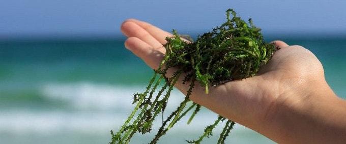 Роль водорослей в жизни человека