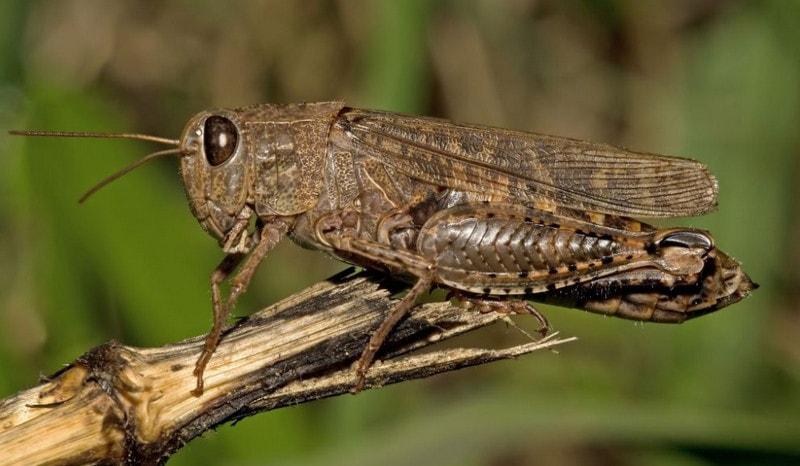 Саранча - представитель насекомых с неполным превращением