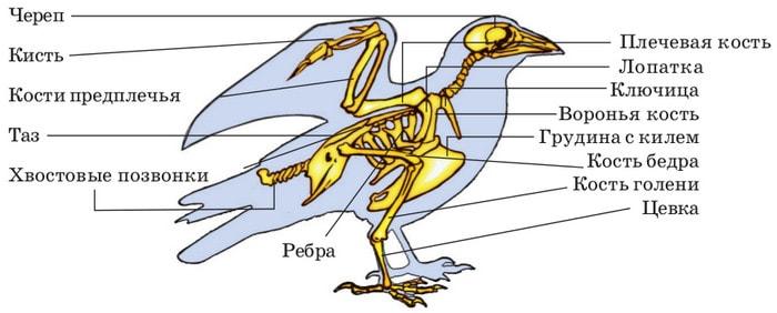 Скелет птиц на примере голубя