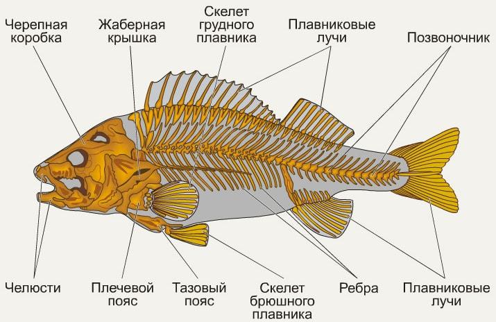 Строение скелета рыб, на примере окуня