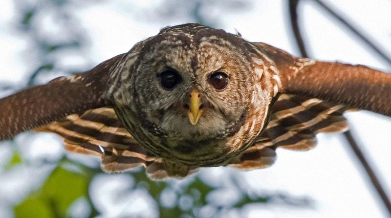 Сова - представитель хищных птиц