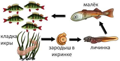 Стадии развития рыб