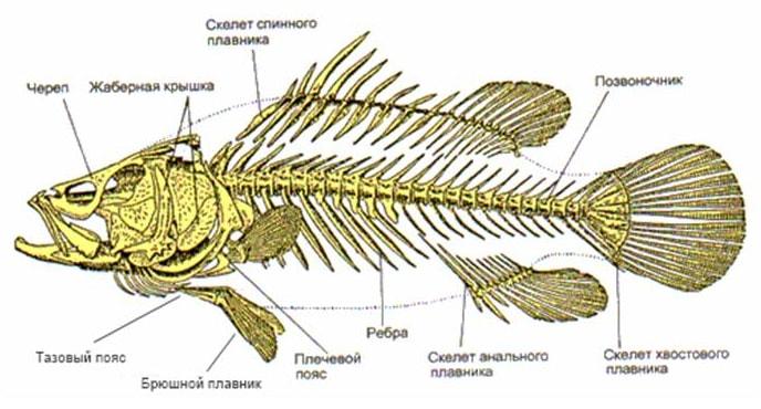 Строение скелета костных рыб