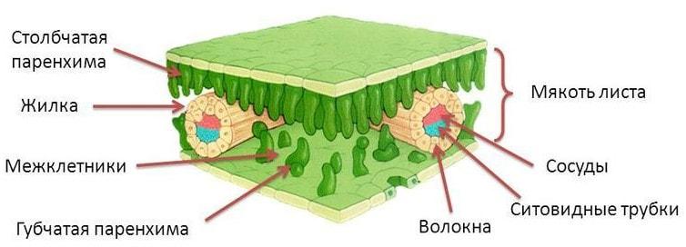 Строение листа растения