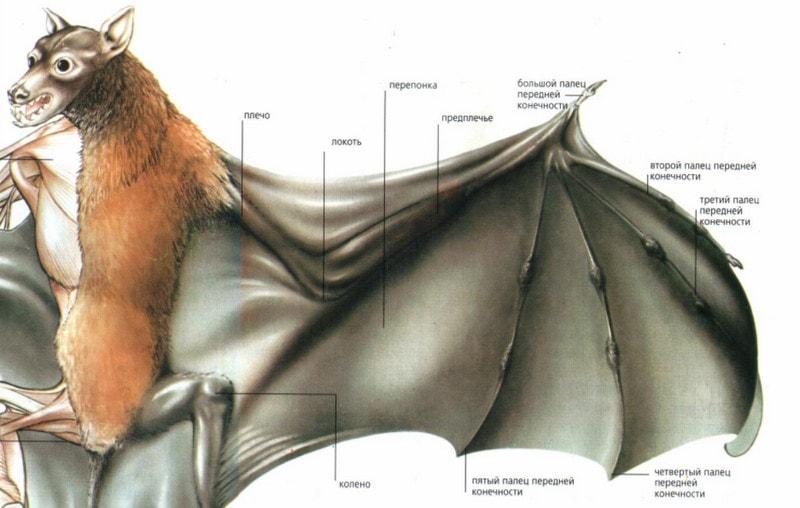 Строение крыла летучих мышей