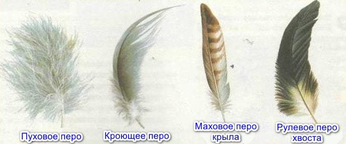 Типы перьев птиц