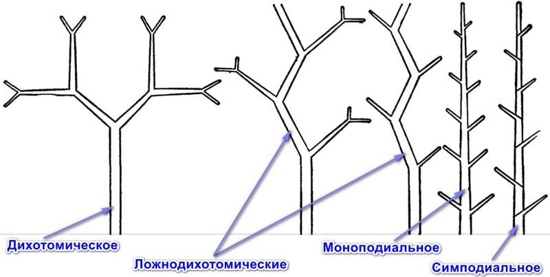 Типы ветвления стебля