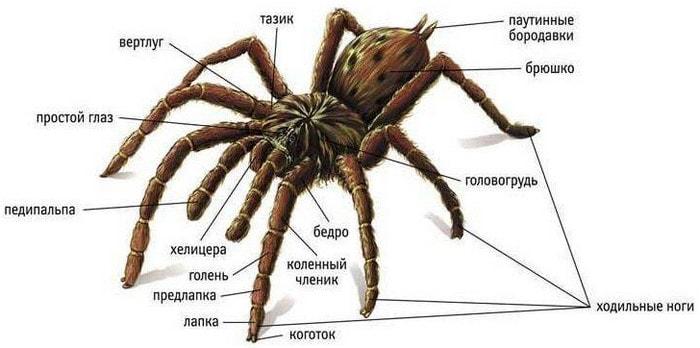 Внешнее строение паукообразных