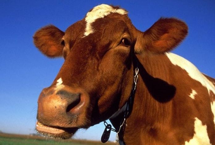 Корова - представитель жвачных животных