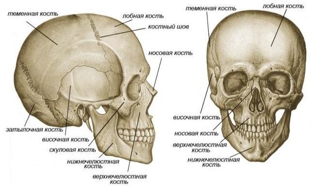 Строение скелета головы (черепа)