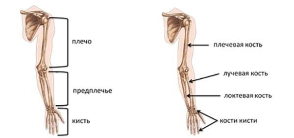 Строение скелета верхних конечностей