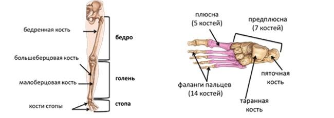 Строение скелета нижних конечностей