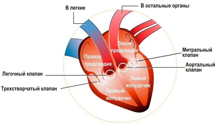 Клапаны сердца человека