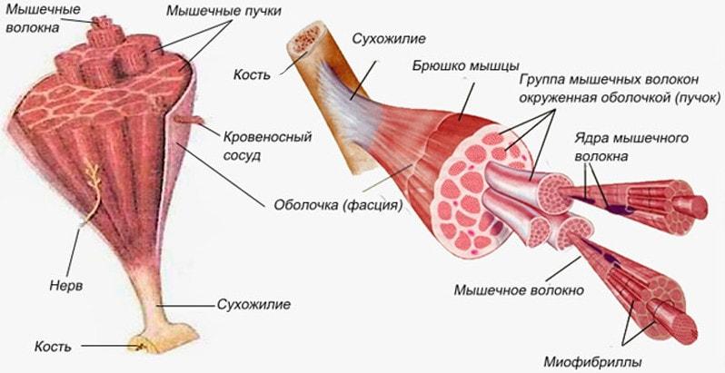 Общее строение мышцы