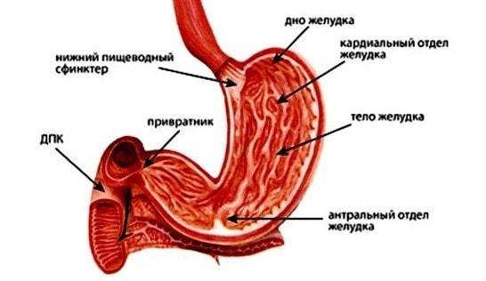 Отделы желудка человека