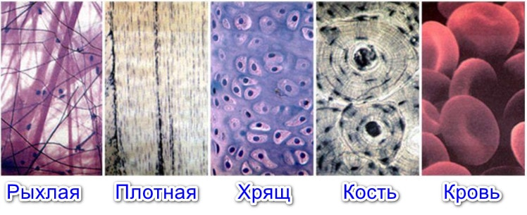 Типы соединительной ткани