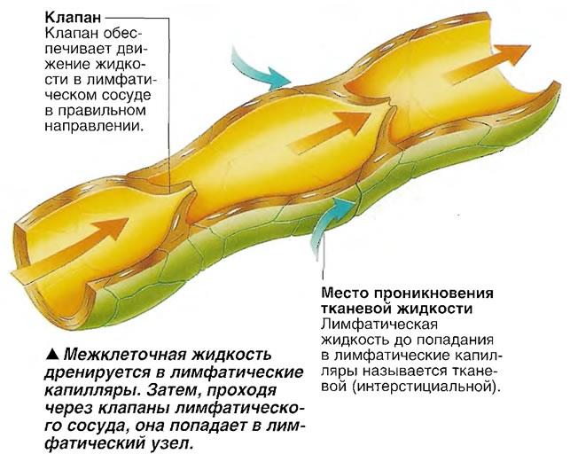 Тканевая жидкость