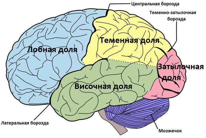 Доли и борозды полушарий головного мозга