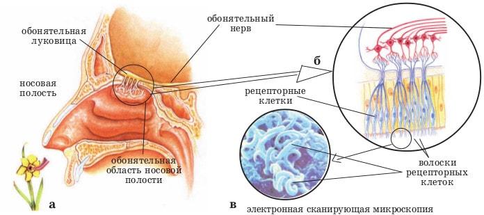Строение органов обоняния