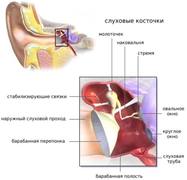 Строение среднего уха человека
