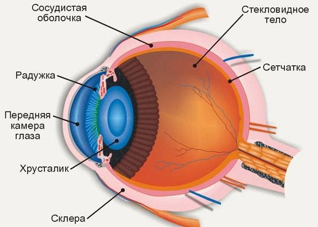 Строение глазного яблока человека
